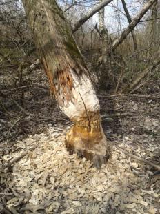 Nagy fába vágta a fogát egy hód