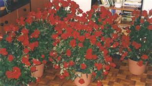 Ezer szál rózsa